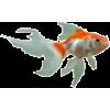 goldfish - Animals -