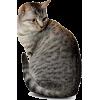 gray cat - Animals -
