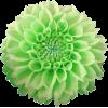 green flowers 4 - Rastline -