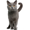 grey cat - Animals -