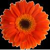 Gerber - Plantas -