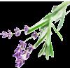 Lavanda - Rośliny -