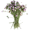 honeysuckle - Rośliny -