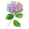 hydrangea - Plants -
