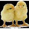 Chicken - Animals -