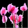 Ciklame - Plants -