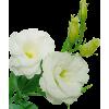 Roses - Plantas -