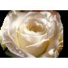Flowers Rose - Plants -