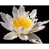 Lotus - Plants -