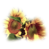 SunFlower - Piante -