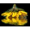Sunflower - Pflanzen -
