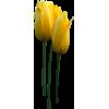Tulips - Piante -