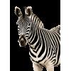 Zebra - Animali -