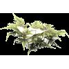 paprat - Plants -