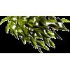 lisce - Plants -
