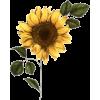 suncokret - Piante -