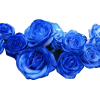 plave ruže - Plants -