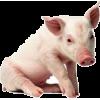 Pig - Životinje -
