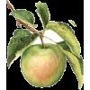 leaves - Fruit -