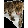leopard - Animais -