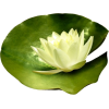 lily pad - Plants -