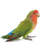 Lovebird  - Animais -