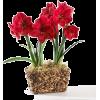 Amarilis - Plants -
