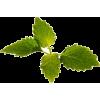 kopriva - Plants -