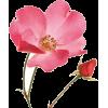 flower rose pink - Plants -