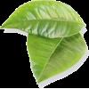 čajevac - Plants -
