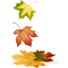maple leaves - Plantas -