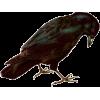 Raven - Animals -