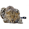 Gepard - Animals -