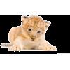 Lion - 动物 -