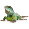 Lizard - Animals -