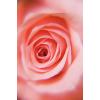 Rose - Tła -
