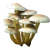 mushrooms - Rastline -