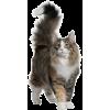 norwegian forest cat - Animales -
