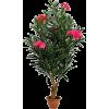 oleander - Plants -