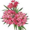 oleander - Rośliny -