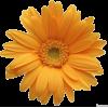 Orange Daisy  - Nature -