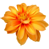 Orange Flower 1 - Plants -