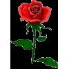 flower rose - Plants -