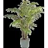 palma - Rośliny -