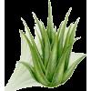 agava - Plants -