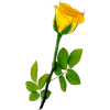 ruža - Piante -