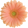 peach daisy  - Plantas -