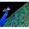 peacock - Zwierzęta -