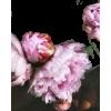 peonies photo - Uncategorized -