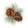 pine, cones - Plants -